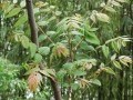 香椿菜 (3)