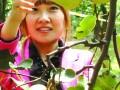 金顶谢花酥梨 (3)