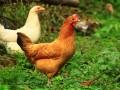 柴鸡 (3)